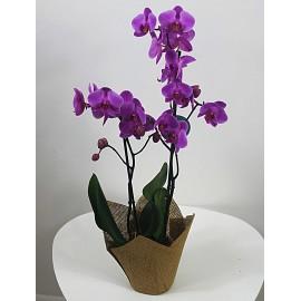 Dviejų šakų vazoninė orchidėja